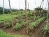 13. Tomates organicos