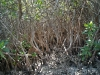 Vegetación de los manglares