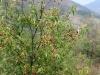 09. arbol de capulines