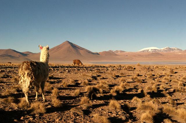 15.Llamas