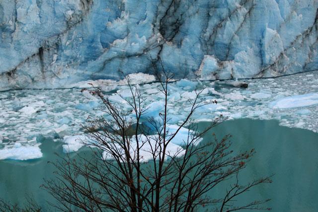 06.Lenga.frente.al,glaciar