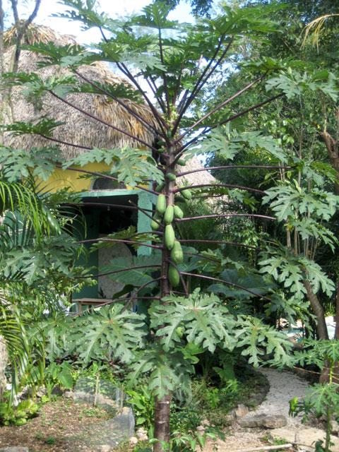 21. Papayas en Genesis eco retreat