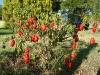 15-arbol-de-chile