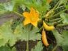 26-flor-de-calabaza