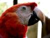 Papagayo en Finca Ixobel