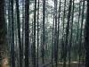 19. Bosque de pinos