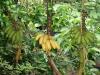 09. platanos y bananas