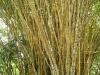 30. Bambu