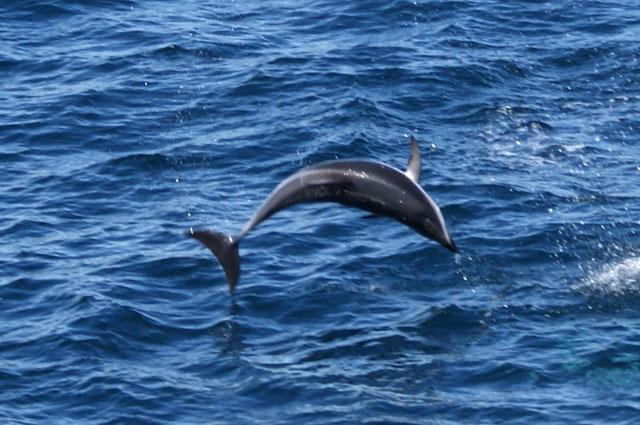 05.Delfin.desde.crucero