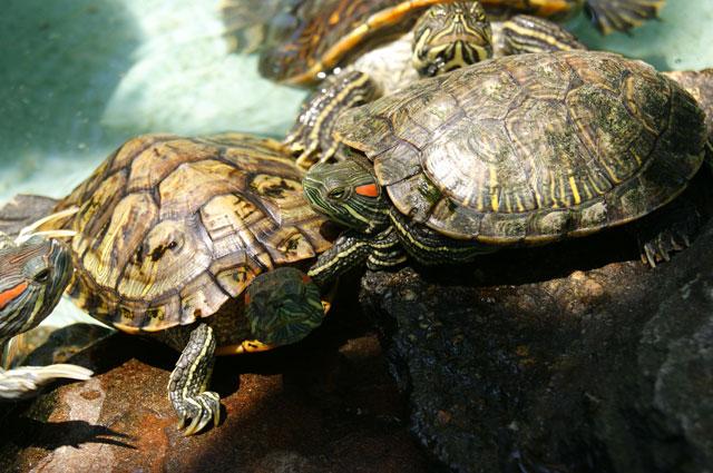 12.-Tortugas-de-agua-dulce