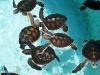 13.-Tortugas-marinas-bebes