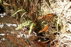 Santuario Mariposa Monarca Piedra Herrada