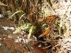 Mariposa monarca en riachuelo