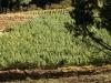 31.Cultivos.en.Chocaya