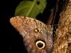12.Mariposa-buho