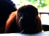 28 Mono aullador-Tayrona