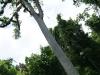 17 Gran arbol Ceiba