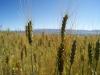 09.Campo-trigo-Luquina