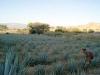 Campos de agave