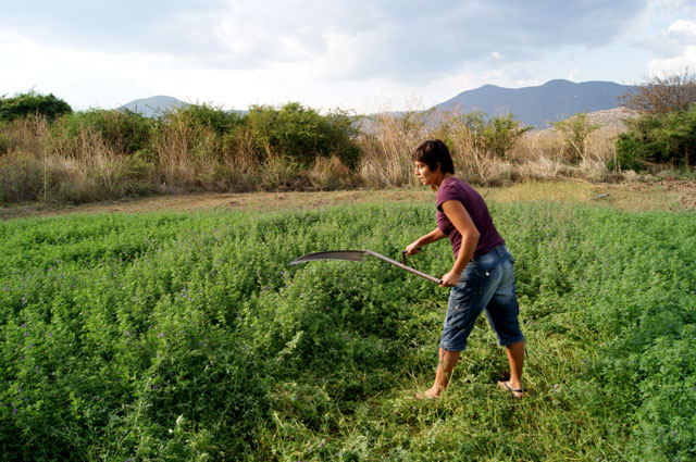 21. Eli cortando alfalfa