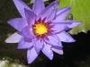 08. Flor de loto en el estanque