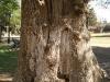 Ilán se asoma de adentro de un olivo