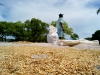 08 Cosecha de arroz Wawabar
