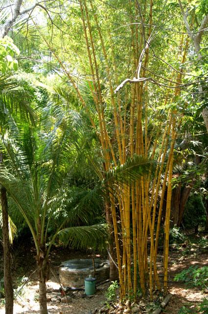 05 Bambu