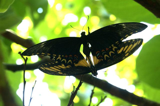 15 Mariposas apareandose