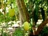 07 Mangos